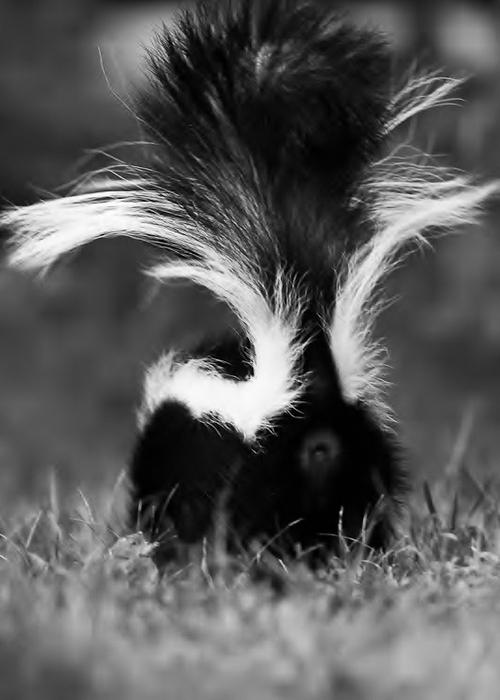 skunk ass